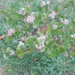 Blueberries in Bloom